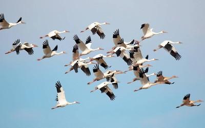 又到鸟类迁徙的季节!科学家想用新技术破解迁徙之谜